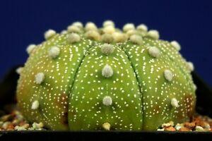 ASTROPHYTUM ASTERIAS =6,3cm= cacti 仙人掌 กระบองเพชร kakteen #5303+