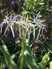 Crinum Lily (Spider Lily, Giant Crinum Lily)