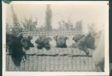 Photograph 1930's  Cute Litter of Puppies in Basket  picture 6