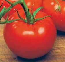 500 Ace 55 Tomato Seeds,  Lycopersicon lycopersicum, NON GMO + FREE GIFT