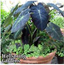 Colocasia antiquorum - Black Beauty Elephant Ear Live Plant tropical garden