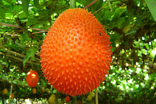 10 SEEDS GAC FRUIT RARE MOMORDICA COCHINCHINENSIS EXOTIC HEALTH BENEFIT