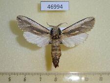 46994p Cossidae Azygophleps inclusa Uganda
