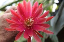 """Epiphyllum Blattkakteen Epicactus /""""Sachsenland/"""" Steckling"""