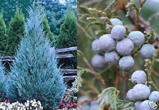Winterharter Mexican Juniper.. Exotischer blauer Nadelbaum Balkon / Garten Samen
