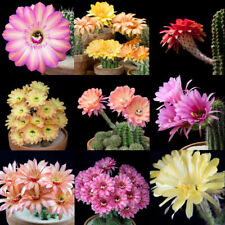 10 seeds Echinopsis hybrid mix * Fragrant * Cactus * Shipping From Us *
