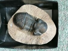 More details for fossil trilobite paralejurus 85mm devonian age morocco fossils. perfect conditin