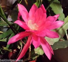 Pink EPIPHYLLUM Orchid Cactus Queen of the Night Oxypetalum Cereus LIVE Plant