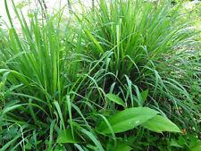 Sri Lanka Giant Lemongrass Cymbopogon citratus Zacate Limon 2 Mother Plants