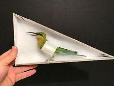 Taxidermie Cabinet de curiosités Oiseau Merops philippinus javanicus d'Indonesie