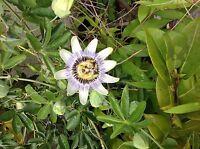 Passiflora Caerulea Blue & White Passion Flower Climber Plant, Climbing,