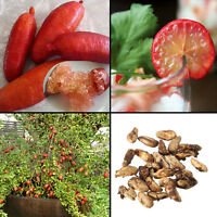 20Pcs Ice Pink Finger Fruit Lime Seed Rare Plant Home Garden Balcony Red SALE