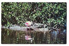 Roseate Spoonbill Everglades National Park Florida Fl Water Bird Postcard Koppel