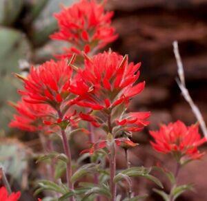 Indian Paintbrush seeds (Castilleja Agustifolia) 200+ seeds -RARE-