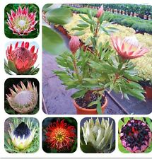 Protea Cynaroides Seeds Easy Planting Rare Bonsai Flower