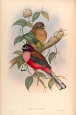 J GOULD reproduction imprimé oiseaux hapactes ardensfrom oiseaux de l'Asie. # 01