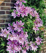 "CLEMATIS ~Deep Rose-Pink ~ ""Nelly Moser"" Large blooms  5+ Hardy Perennial Seeds"
