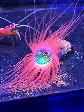 Amazing Tube Nem WYSIWYG Live Coral Frag - Pop Corals Candy Shop