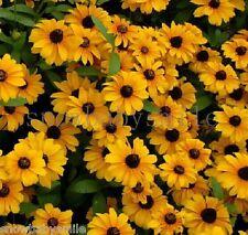 2000 Rudbeckia hirta Seeds Black Eyed Susan Gloriosa Daisy Garden Flower COMB SH
