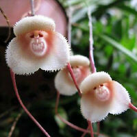 10PCS Rare Monkey Face Orchid Flower Seeds Home Garden Beautiful Plant Seed