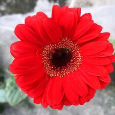 Gerbera Red African Transvaal Daisy Seeds Home Garden Big Bloom Flowers Planting