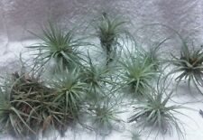 10 Tillandsia Air Plants, Healthy Naturally Grown in Florida Best Deal!