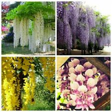 10 Wisteria Tree Seeds 4 Types Mixed Decorative Perennial Creeper Plants Garden
