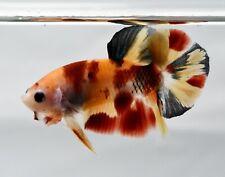 "Fancy Koi Betta Live fish Little boy Nemo Yellow Based 1.2"" male plakat 3 months"
