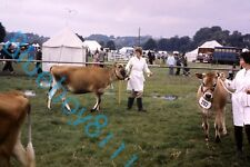 Jersey Cows At Bakewell show 1970's original 35 mm Slide