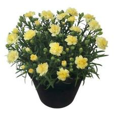 Dianthus Sunflor® 'Yellow Bling Bling' Pinks Perennial Plug Plants Pack x6