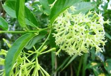 Plant de Cestrum Nocturnum Dame de Nuit Plante tropicale Nuit Jessamine Jasmin