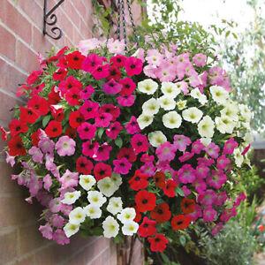 Garden Petunia Unicum Mix Seeds- Petunia x hybrida - Annual Flower