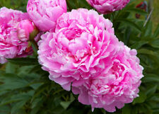 10 Pcs Pink Tree Peony Seeds Bonsai Plant House Herb Garden Flower Decor