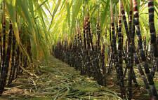 Canne à sucre! développer votre propre sucre! pousse 8-18ft!!! plante tropicale! intérieur/out