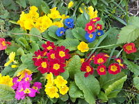 PRIMROSE SPRING FLOWERS GARDEN PLANTS PLUG PRIMULA COTTAGE  FLOWER PERENNIAL
