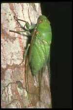 035175 Cicada Poring Borneo Malaysia A4 Photo Print
