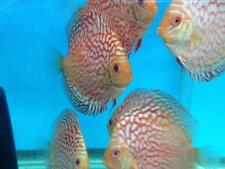 LIVE DISCUS FISH- (4 inch) Checkerboard Pigeon Discus