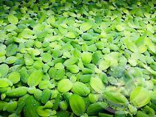 12+ Dwarf Water Lettuce Aquarium Fish tank Pond Live Plant Planted Betta Plant