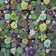 Sempervivum Succulent Seeds - Garden Seeds - Mix -Bulk