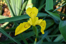 Live Yellow Flag Flower Iris Aqua 00006000 tic Marginal Pond Plant