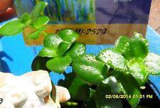 Succulent Crassula Sarmentosa Jade Tree Collectors Plant 4 Landscape Hanging