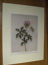 Vintage 1921 Botanical Wildflower Print Matted - Wild Geranium;Wild Crane's-Bill
