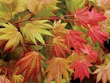 Maple Japanese Acer Moonrise, New Variety Sold In 3 Lt Pot New Autumn Moon