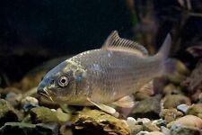 5 x Ghost Koi/Carp 5cm - Pond/Koi/Tench/Goldfish - MF Aquatics - FREE DELIVERY