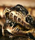Skull Creation's 1600+ Dermestid Beetle Colony European Mount Taxidermy Beetles