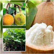 Santol Sandoricum Koetjape Tree Plant Grafted Fruit Tropical From Thailand 20''