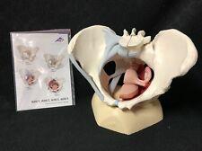 3B Scientific Female pelvis with ligaments, H20/3 Model Anatomy