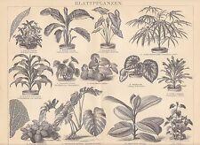 Blattpflanzen Aralie Philodendron HOLZSTICH von 1882 Pfeilwurz Drachenbaum