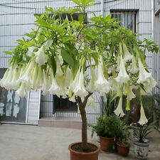 Tropical White Brugmansia suaveolens Flamenco angel's Trumpets seed 10 pcs