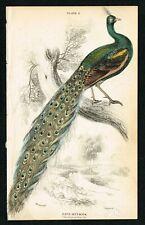 1850 Peacock Pheasant, Hand-Colored Antique Engraving Print - Lizars